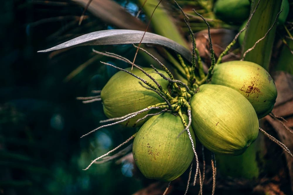 Green Coconuts Hanging From a Tree