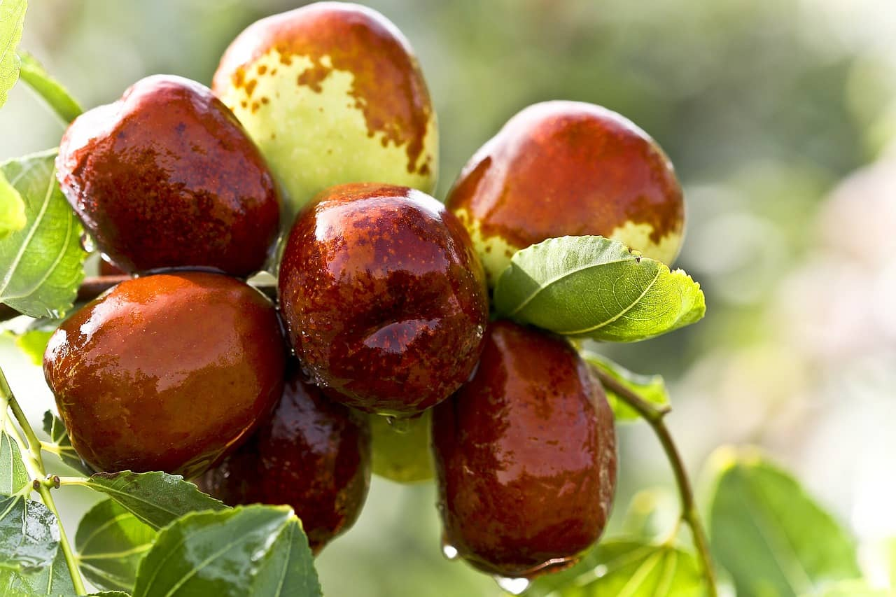 Dates Growing on a Tree