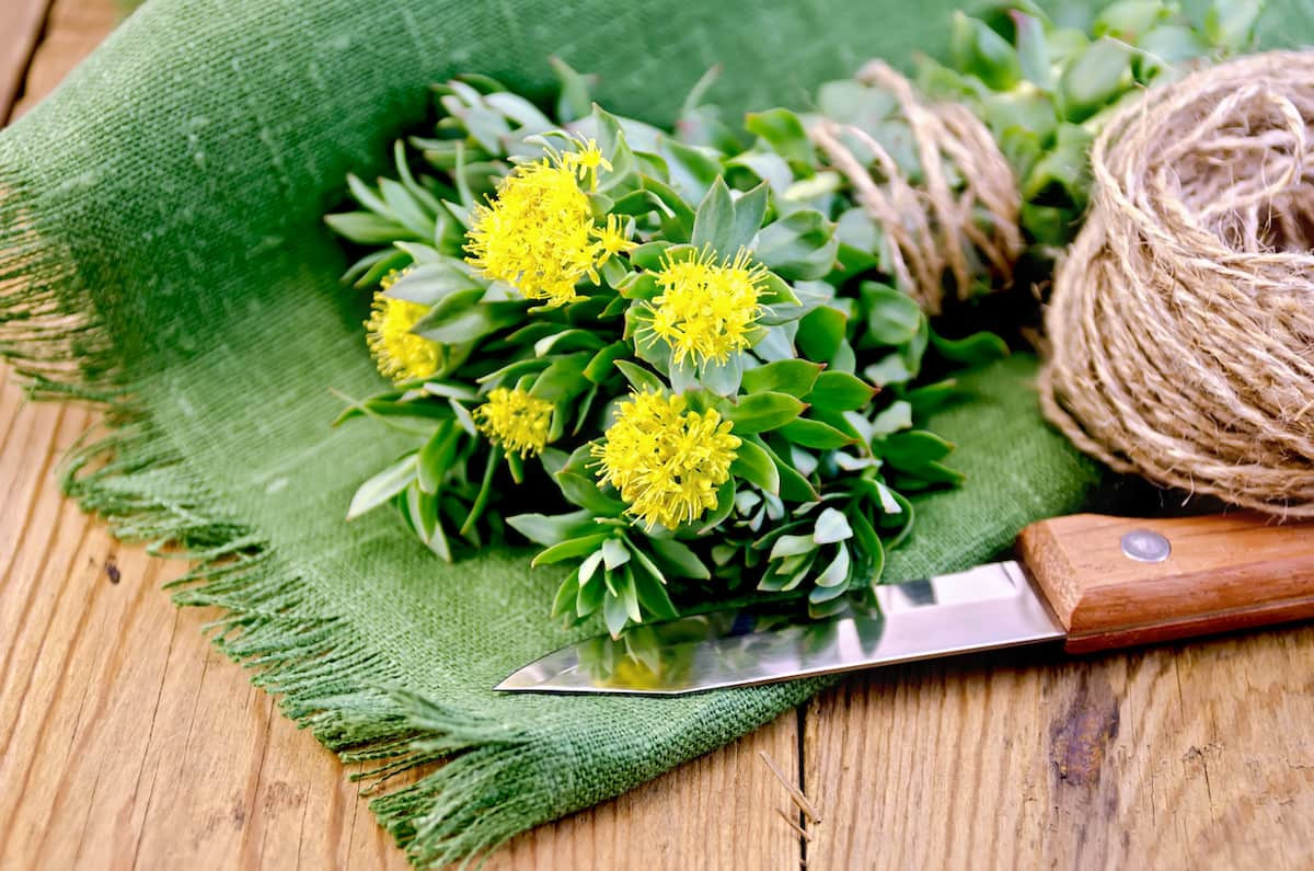rhodiola rosea on the board